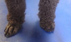 "Standard Poodle ""Clean"" Feet"