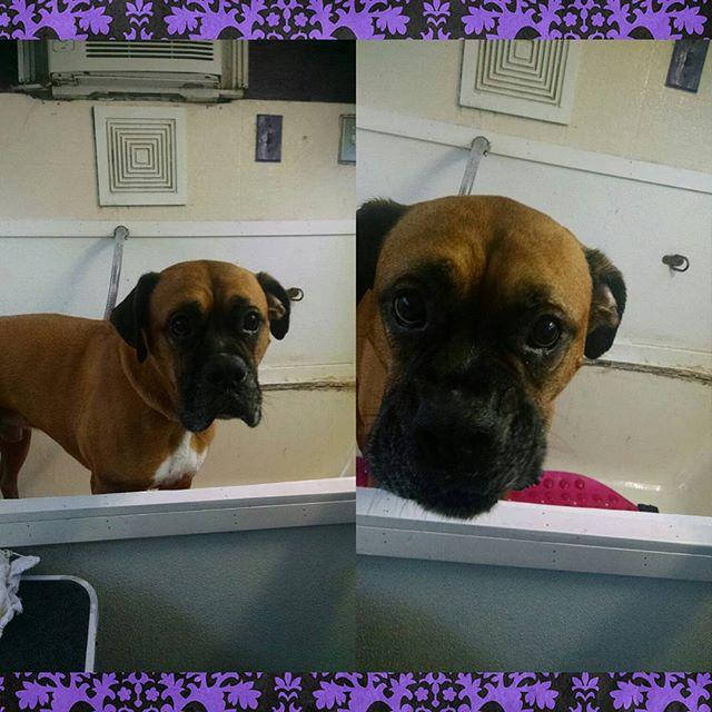 Boxer groom/bath