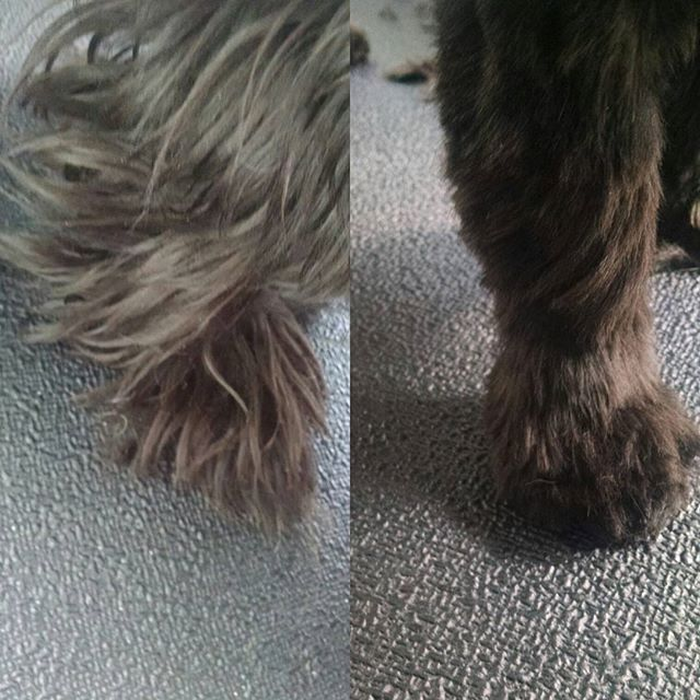 Shih tzu groom. Legs.