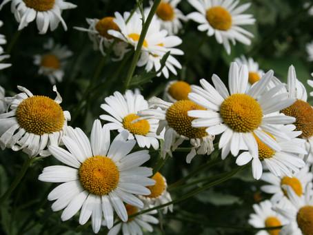 La Camomille romaine - votre plante détente d'octobre Vital'Primevert!