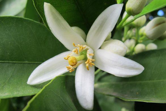 Fleur-d-oranger01