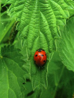 Coccinelle-ortie