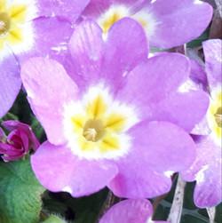 Primevere 2019 -violet rose 01