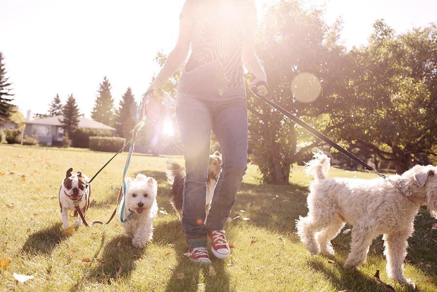 Venčení psů za slunečného dne
