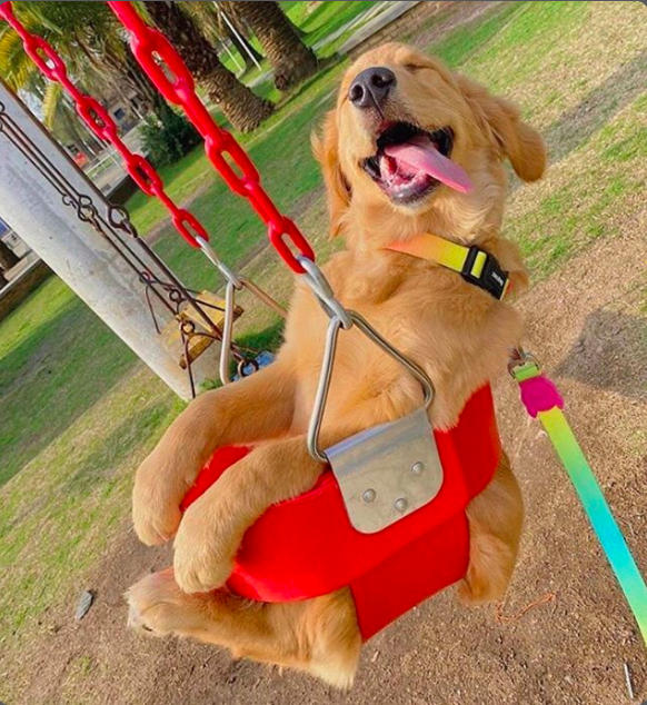 Picture of golden retriever swinging shared in TOVI Play