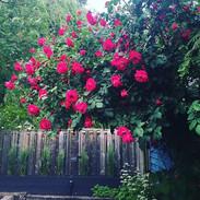 #guest #parking #wild #roses #new #grass
