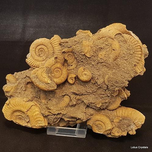 Medium Ammonite Fossil Bed