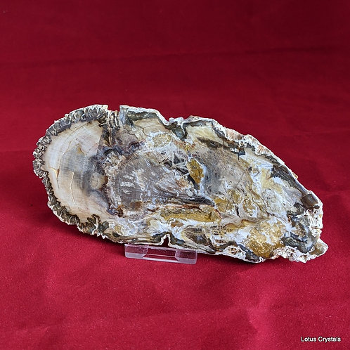 Petrified Wood Slice - Patagonia