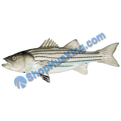 02 Wild Striped Bass 4.4-4.8LB 条纹鲈鱼 /EA