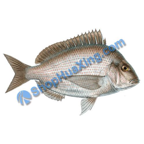 02 Scup Fish 1.2-1.4 LB 尖口鲷 腊鱼 /EA