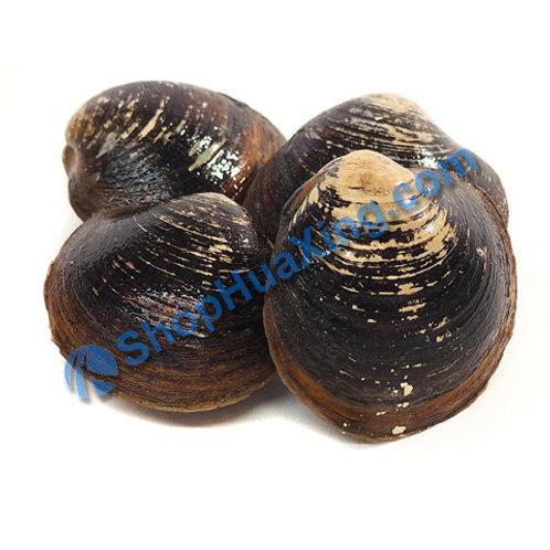 02 Mahogany Clam 1.5-1.7 LB 黄流 /包