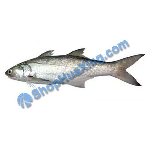 02 Large Bluefish 马友鱼 /LB