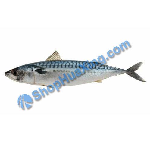 02 Atlantic Mackerel 0.8-1.0LB 花鲛鱼 波士顿马鲛鱼 /EA