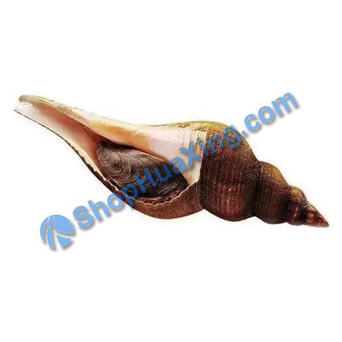 02 Conch Clam 0.6-0.8LB 有壳母响螺 /包