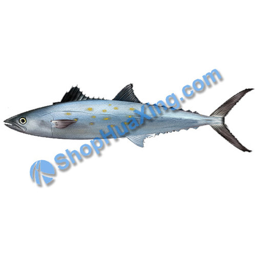 02 Spanish Mackerel 1.2-1.4LB 西班牙马鲛鱼 /包