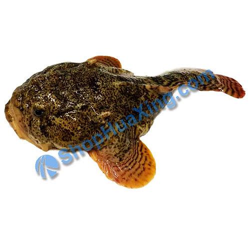 02 Stone Fish 1.3-1.6 LB 游水石头鱼 /EA