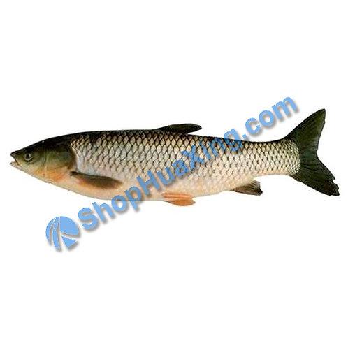 02 Grass Fish Gutted 10-12LB 草鱼(去肚) /EA