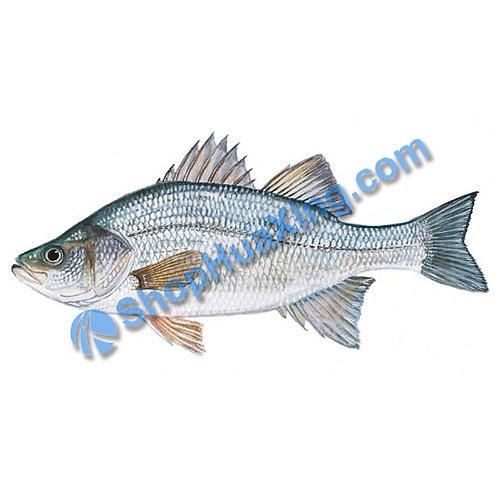 02 Fresh White Perch 1.0-1.2 LB 白鲈鱼 /包