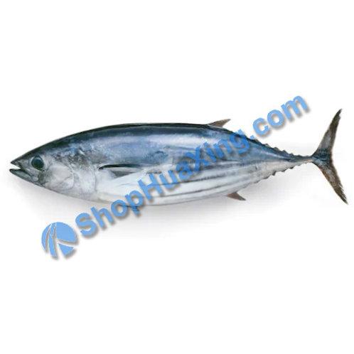 02 Bonito Fish 6-6.5LB 鲣鱼 /EA