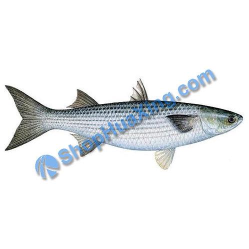 02 Fresh Jump Mullet Fish 1.8-2.1 LB 跳鱼 /EA