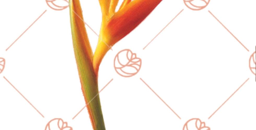 Heliconia Golden