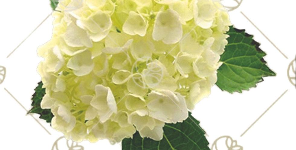 Hydrangea Mini White