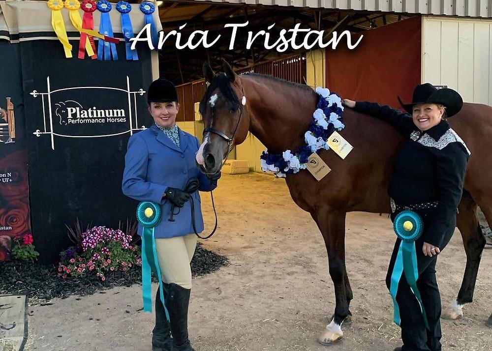 Purebred Arabian stallion Aria Tristan Champion Arabian Performance Halter Stallion Open and ATH