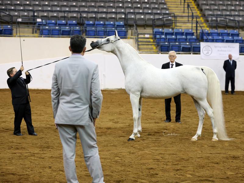 Arabian mare Brigetta PA at East Coast Arabian Championship show