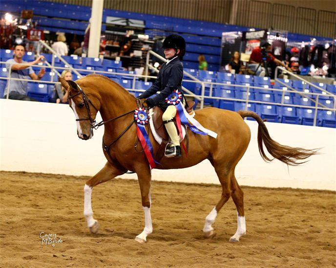 Arabian mare, Flaming Desyre, walk trot Champion