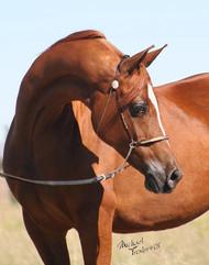 Arabian mare Bey Cali