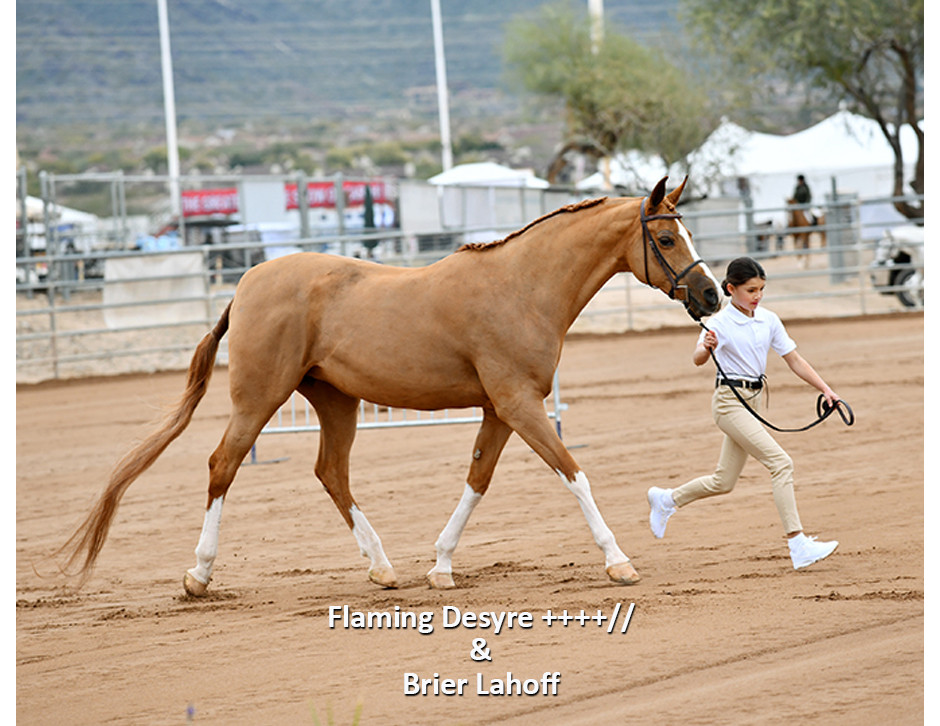 Pippi and Brier, Arabian Sport Horse In Hand at Scottsdale