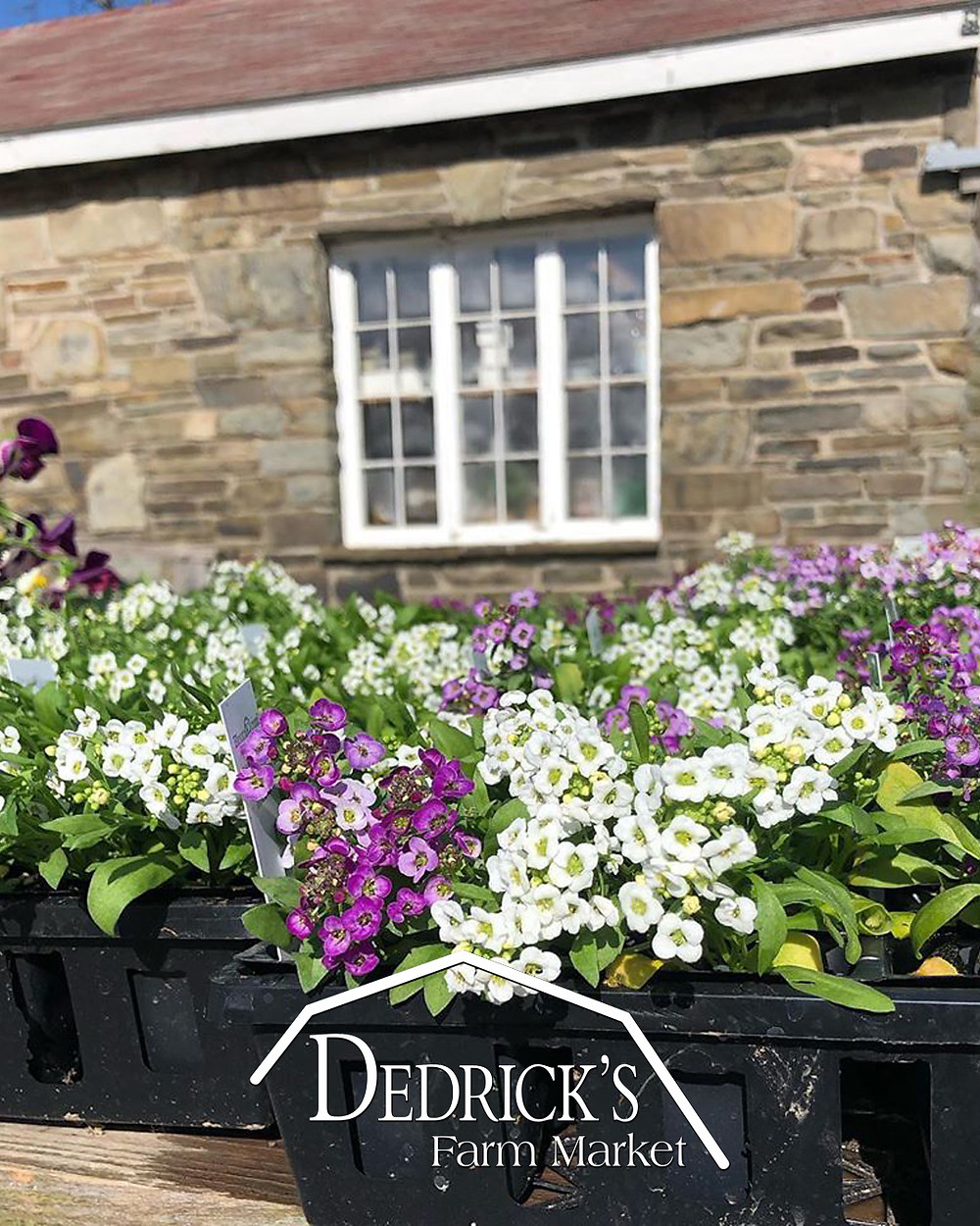Sweet Alyssum, spring bedding plant, comes in many colors