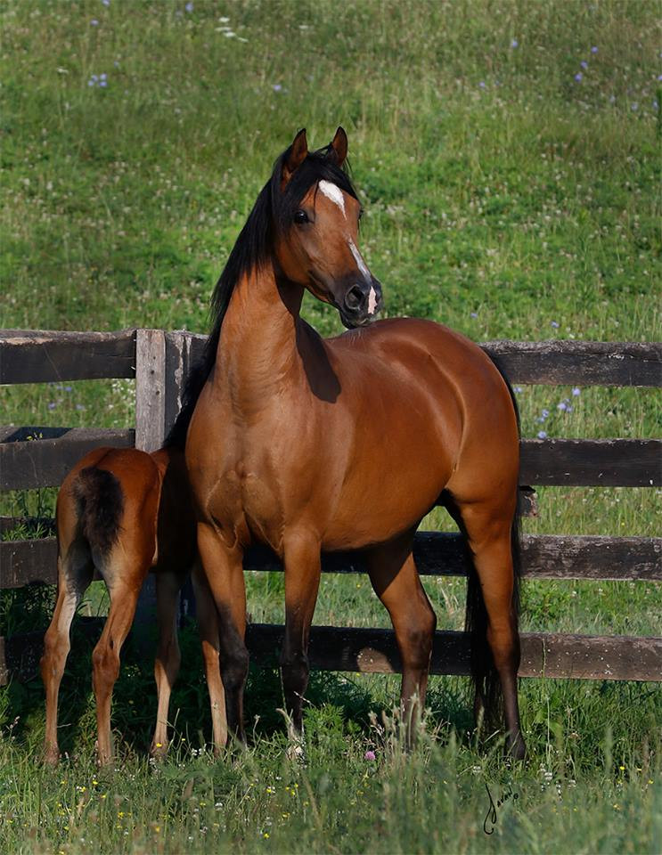 Arabian mare Afire Gdanser by Afire Bey V