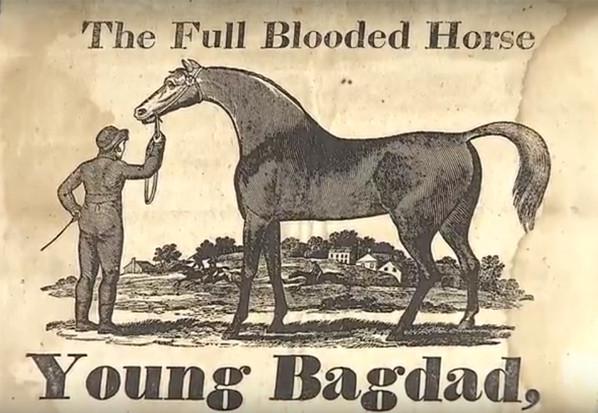 Arabian Stallion Young Bagdad