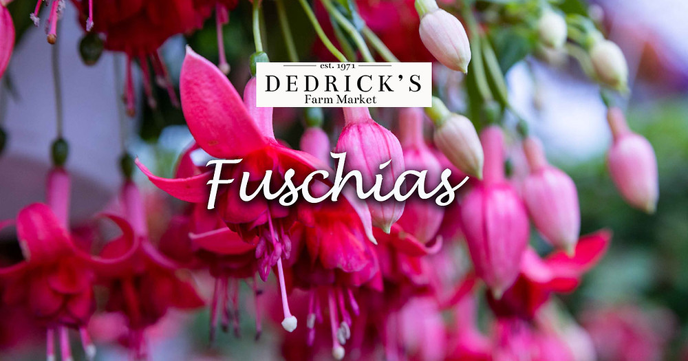 Fuschia in Hanging Baskets at Dedrick's Farm Market greenhouse near Ithaca New York