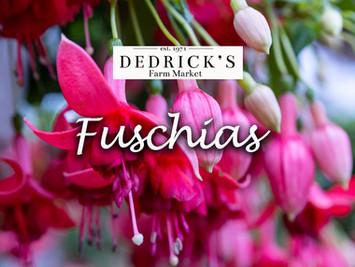 Fabulous Fuschias from Dedrick's