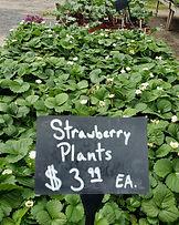 Fingerlakes Region New York Strawberry plants.jpg