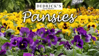 Violas to Pansies and Bridgerton?