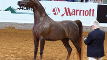 New Champions for Sale at Ryan Show Horses!
