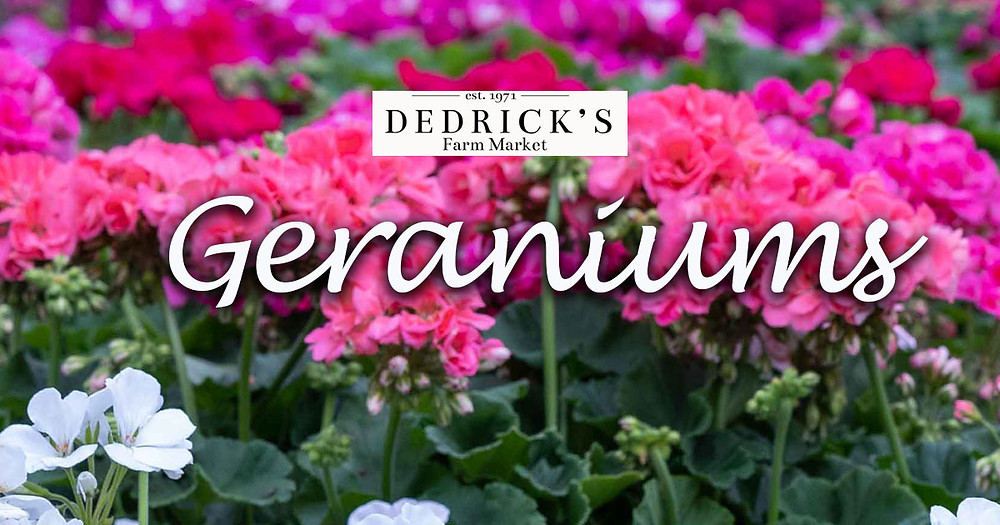Geraniums in the plant nursery at Dedrick's Farm Market. Located near Ithaca and Cortland in Dryden New York