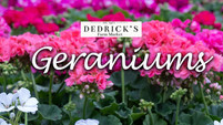 Gorgeous Geraniums