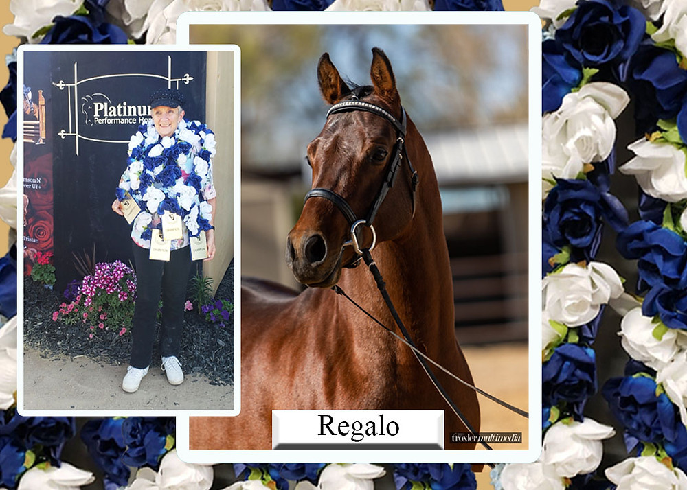 Spanish Arabian Stallion Regalo trained by Mariah Wilson in Albuquerque NM and owned by Rusty Cook