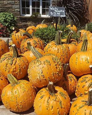 Pumpkins warty