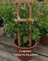Fingerlakes Region New York plants Cherry Tomato plants.jpg