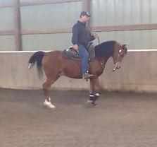 Purebred Arabian gelding Dedikation BF