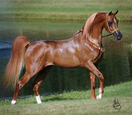 Arabian stallion Marwan Al Magnificoo sire of Dedikation BF