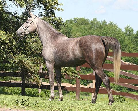 Purebred Arabian mareGJR Bella Cinderalla