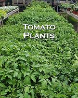 Plant Nursery near Ithaca tomato plants Fingerlakes Region New York.jpg