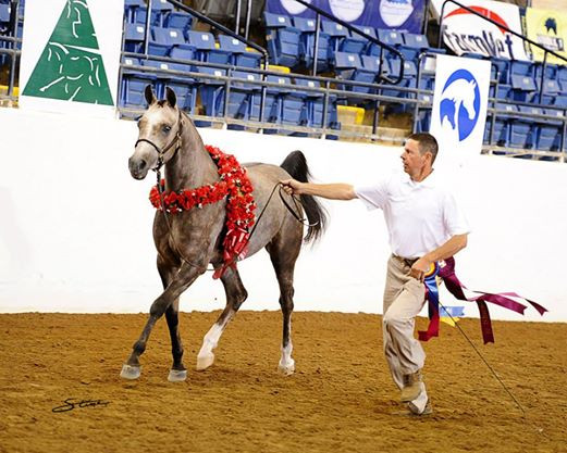 Purebred Arabian Filly, GJR Shahanna Khan and Mike Troxler, US National Champion 2 year old Sport Horse Filly 2013