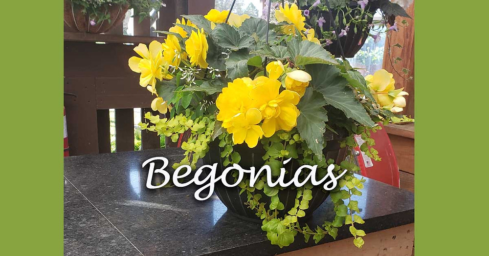 Begonia hanging basket in the Dedricks greenhouse. Conveniently located to Cortland, Dryden, Groton and Ithaca NY